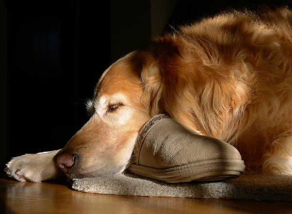 Golden Retriever Art Print featuring the photograph Golden Retriever Dog With Master's Slipper by Jennie Marie Schell