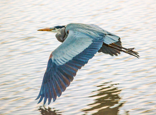 Great Blue Heron Art Print featuring the photograph Great Blue Heron Taking Flight by Brian Tada