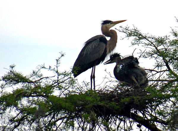 Blue Heron Art Print featuring the photograph Great Blue Heron With Fledglings II by Suzanne Gaff