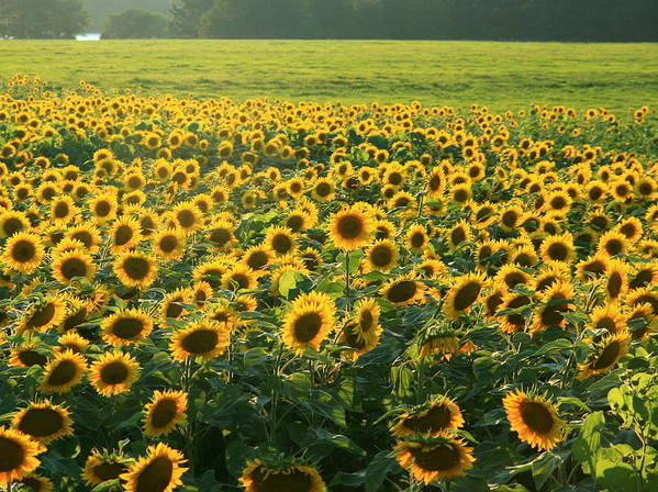 Field Of Sunflowers Art Print featuring the photograph Make A Wish  by Neal Eslinger