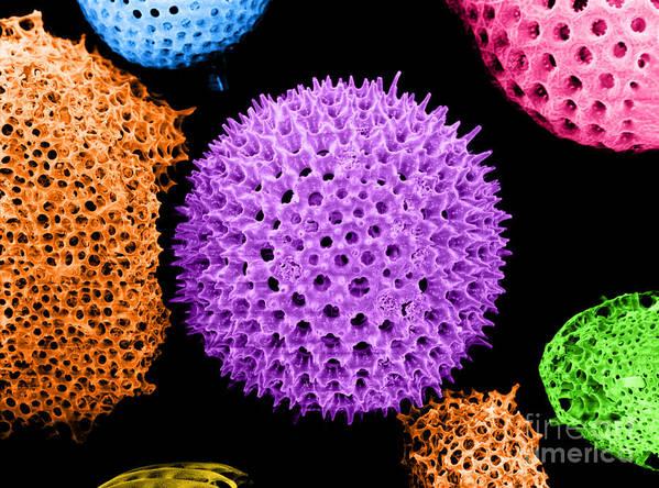 Science Art Print featuring the photograph Radiolarian Sem by Biophoto Associates