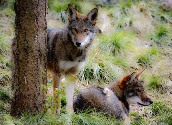Red Wolf Art Print featuring the photograph Red Wolves by Steve McKinzie