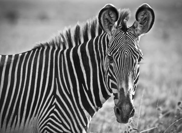 Zebra Art Print featuring the photograph Stylin' Grevy's Zebra by Sandy Schepis