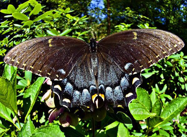 Swallowtail Art Print featuring the photograph Swallowtail Butterfly by Susan Leggett