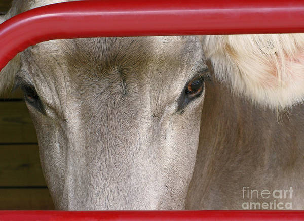 Cow Art Print featuring the photograph Through The Gate by Ann Horn