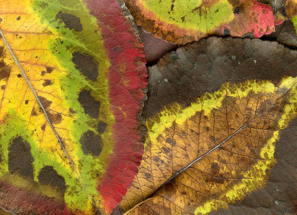 Leaf Art Print featuring the photograph Turning Leaves 2 by Stephen Anderson