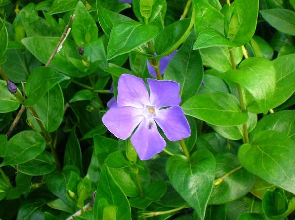 Vinca Herbacea Art Print featuring the photograph Violet Herbaceous Periwinkle by Taiche Acrylic Art
