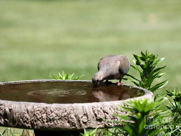 Nature Art Print featuring the photograph Mourning Dove by Jack R Brock