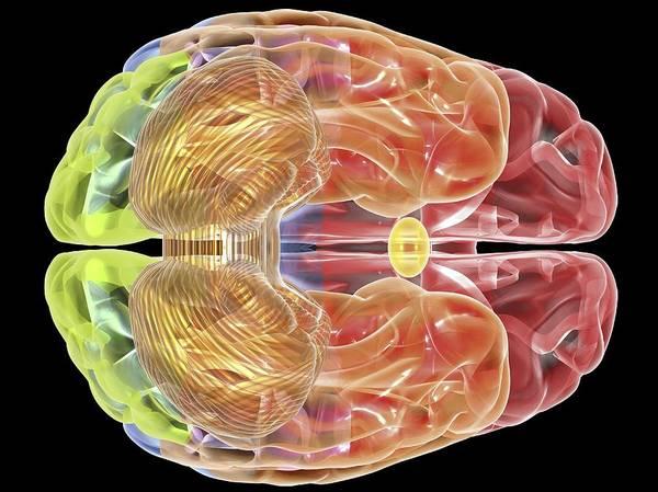 Horizontal Art Print featuring the digital art Human Brain Anatomy, Artwork by Pasieka