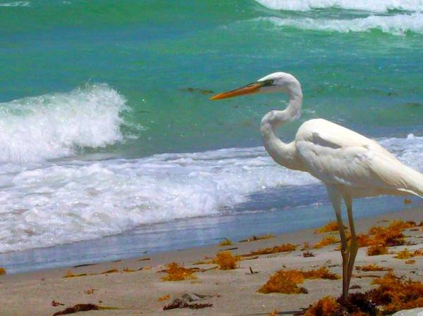 Beach Art Print featuring the photograph Absorbed In Long Boat Key by Megan Ford-Miller