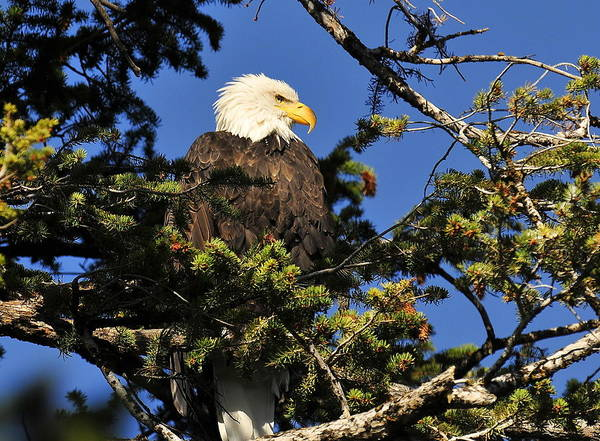 Eagle Art Print featuring the photograph Bald Eagle by Anna Sullivan