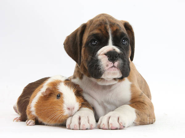 Nature Art Print featuring the photograph Boxer Puppy And Guinea Pig by Mark Taylor