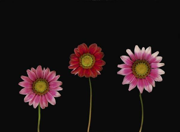 Arranged Art Print featuring the photograph Bright Colorful Daisies by Deddeda