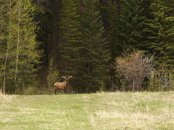 Canadian Rockies Art Print featuring the photograph Elk by Larry Roberson
