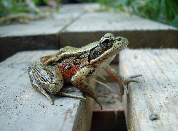 Frog Art Print featuring the photograph Frog by Sophia Petersen