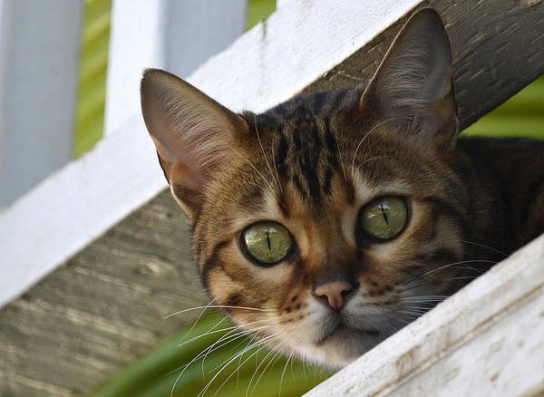 Bengal Cat Art Print featuring the photograph Getting Noticed by Fraida Gutovich