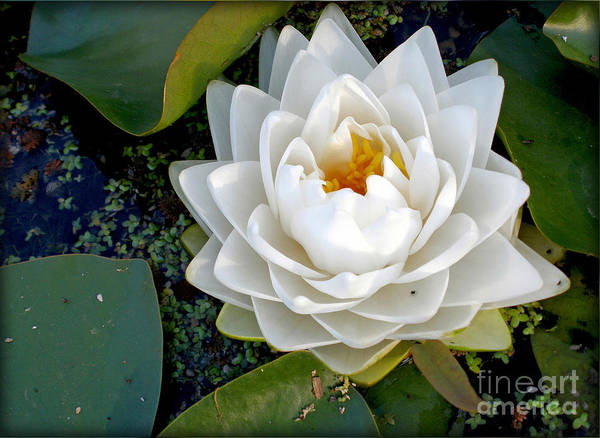 Photography Print featuring the photograph Optical Illusion In A Waterlily by Kaye Menner