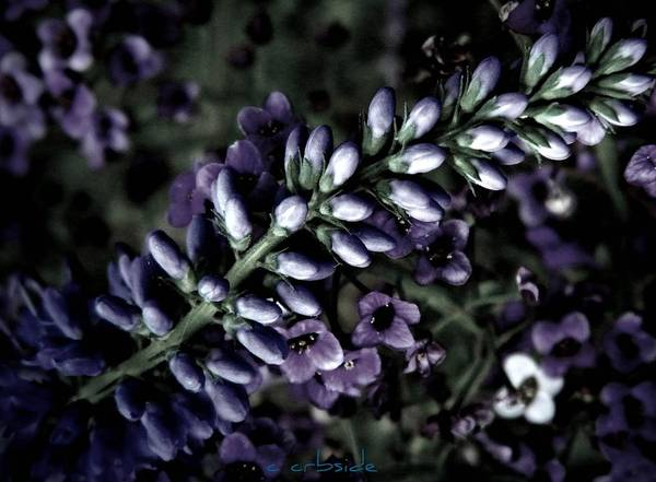 Veronica Art Print featuring the photograph Pastel Veronica by Chris Berry
