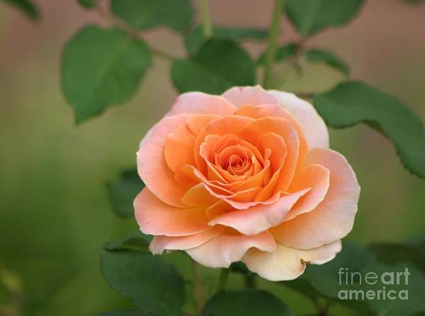 Roses Art Print featuring the photograph Perfect Peach Petals by Living Color Photography Lorraine Lynch