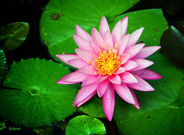 Water Lily Art Print featuring the photograph Pink Nymphaea by Lisa Spencer