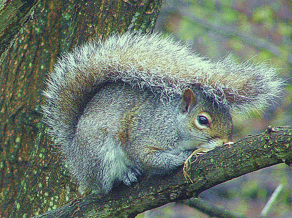 Squirrel Art Print featuring the photograph Squirrel Rain Gear by Cathy Sosnowski