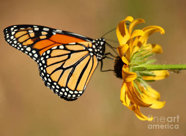 Butterfly Art Print featuring the photograph Sunlight Colors by Adam Jewell
