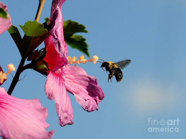 Bumble Bee Art Print featuring the photograph The Bumblebee And The Rose If Sharon by Michael Womack