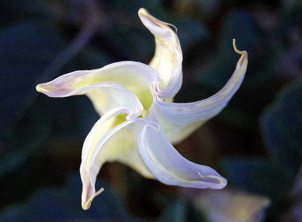 Datura Art Print featuring the photograph Sacred Datura by Heather S Huston