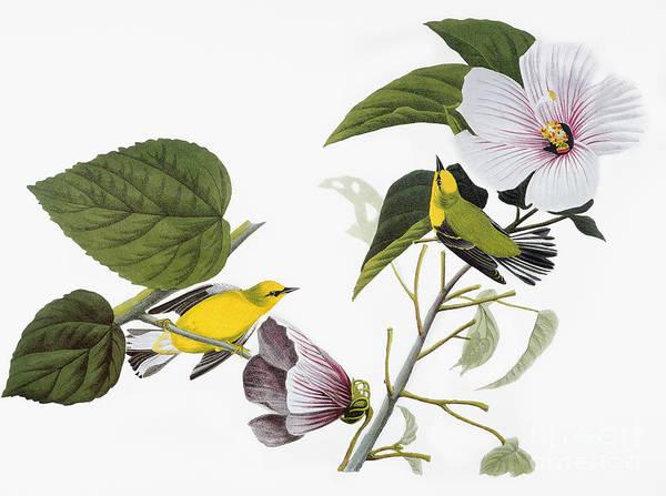 1827 Art Print featuring the photograph Audubon Warbler by John James Audubon