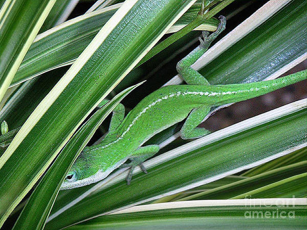 Nature Art Print featuring the photograph Anole Hiding In Spider Plant by Lucyna A M Green