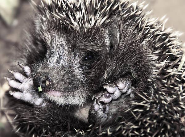 Animal Art Print featuring the photograph Baby Hedgehog by Svetlana Sewell