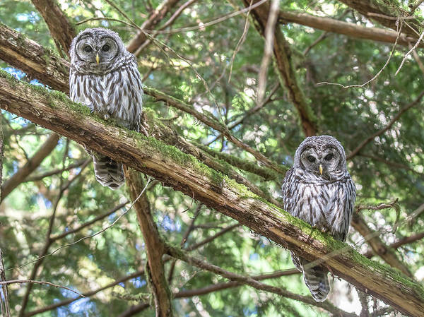 Barred Owl Art Print featuring the photograph Barred Owl Fledglings by Carl Olsen