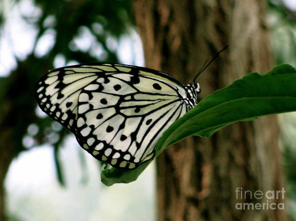 Butterfly Art Print featuring the photograph Black And White Butterfly by Sherri Williams