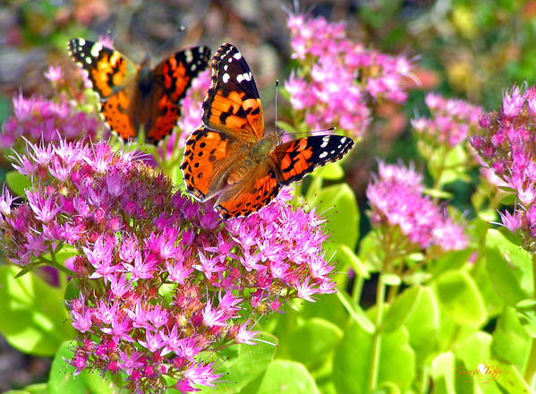 Butterflies Garden Colorado Nature Flowers Rocky Mountains Art Print featuring the photograph Butterflies by George Tuffy