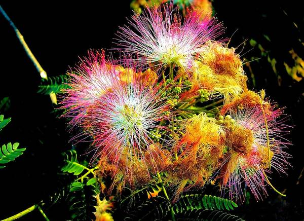 Nature Art Print featuring the photograph Care For A Mimosa by Johann Todesengel