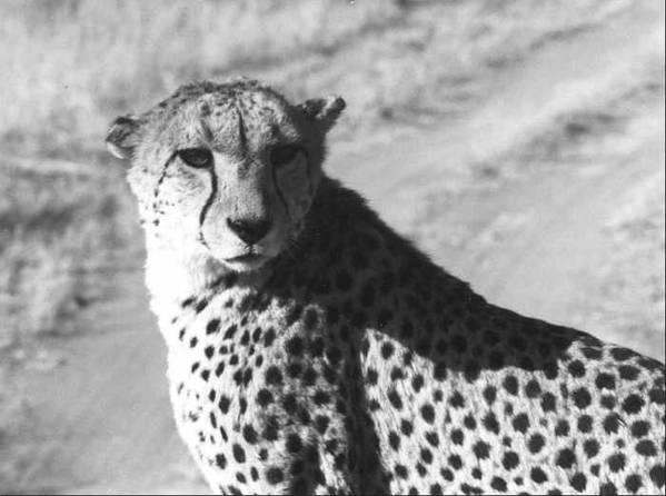 Cheetah Art Print featuring the photograph Cheetah Pose by Susan Chandler