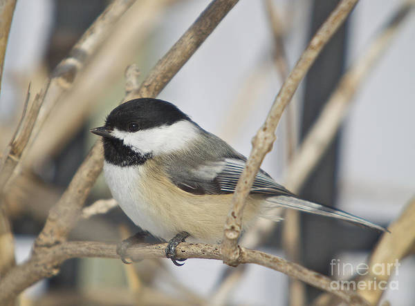 Birdadditional Tags: Print featuring the photograph Chickadee-5 by Robert Pearson