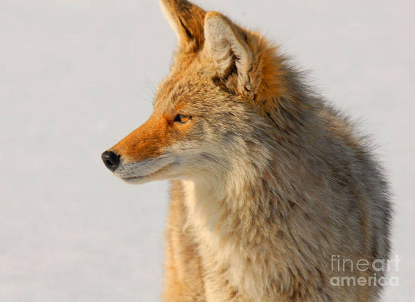 Coyote Art Print featuring the photograph Coyote by Dennis Hammer