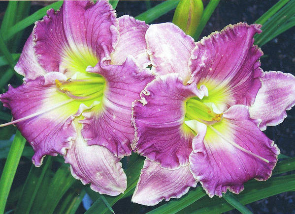 Lily Art Print featuring the photograph Daylily 1 by P Maure Bausch
