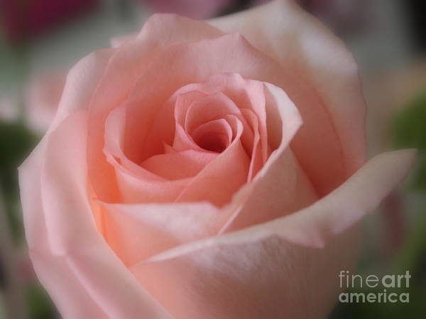 The Power Of Pink Art Print featuring the photograph Delicate Pink Rose by Carol Groenen