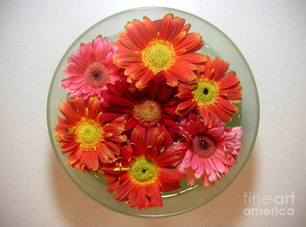 Nature Art Print featuring the photograph Gerbera Daisies - From Above by Lucyna A M Green