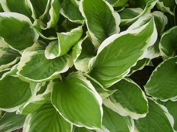Hostas Foliage Leaves Green White Garden Art Print featuring the photograph Hostas 1 by Anna Villarreal Garbis