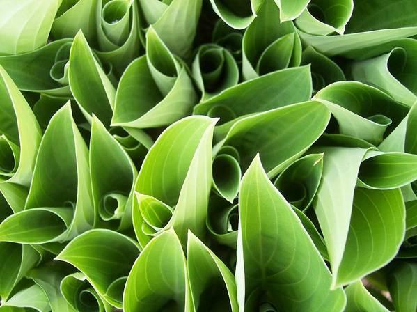 Hostas Green Circles Leaves Garden Art Print featuring the photograph Hostas 3 by Anna Villarreal Garbis