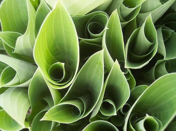 Hostas Green Leaves Circles Garden Plants Art Print featuring the photograph Hostas 5 by Anna Villarreal Garbis