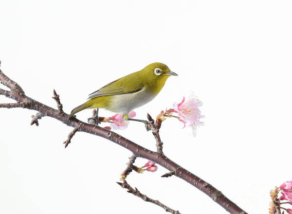 Japanese Art Print featuring the photograph Japanese White Eye by Michael Easley