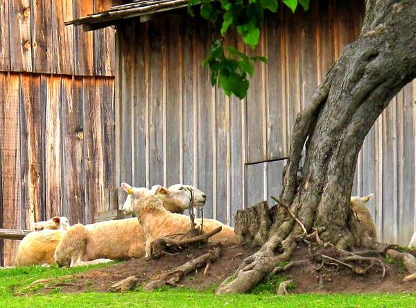 Sheep Art Print featuring the photograph Lawnmowers At Rest by Ian MacDonald