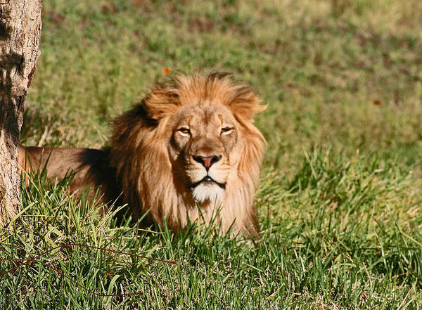 Animals Art Print featuring the photograph Lion by David Campbell