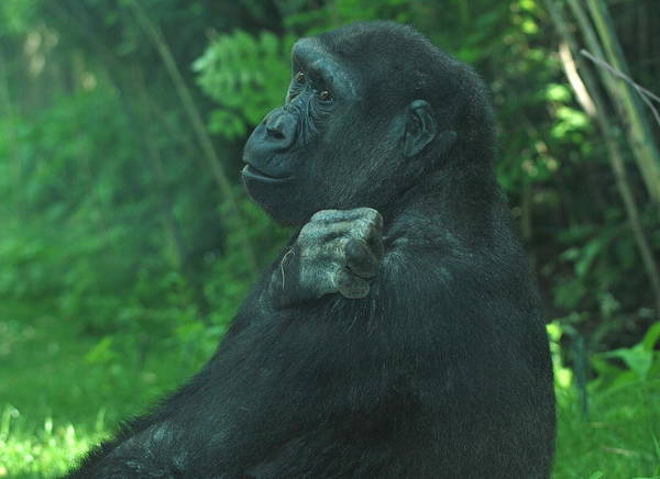 Gorilla Art Print featuring the photograph Lost In Thought by Richard Bryce and Family