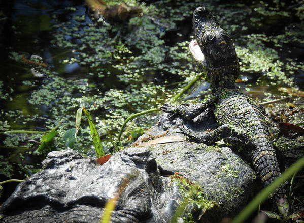 American Alligator Art Print featuring the photograph Madonna And Child, No. 10 by Elie Wolf