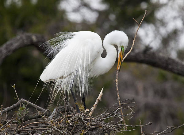 Birds Art Print featuring the photograph Nesting Great Egret by Frank Russell